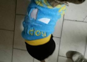 寻狗启示,我家的贵宾丢了、穿着蓝色三叶草,有带铃铛,在我家十几年了,它是一只非常可爱的宠物狗狗,希望它早日回家,不要变成流浪狗。