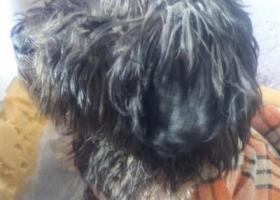 寻狗启示,水秀附近捡到黑狗一只,很乖很懂事,就是太能吃了,请主人速来认领,它是一只非常可爱的宠物狗狗,希望它早日回家,不要变成流浪狗。
