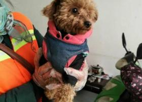 寻狗启示,南京江宁铺岗街捡到小泰迪一只,它是一只非常可爱的宠物狗狗,希望它早日回家,不要变成流浪狗。