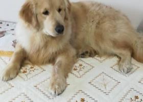 寻狗启示,寻找八个月金毛,在即墨区华侨社区,祥和广场,它是一只非常可爱的宠物狗狗,希望它早日回家,不要变成流浪狗。