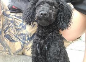 寻狗启示,市政府附近丢失一只黑色泰迪,求帮忙,它是一只非常可爱的宠物狗狗,希望它早日回家,不要变成流浪狗。
