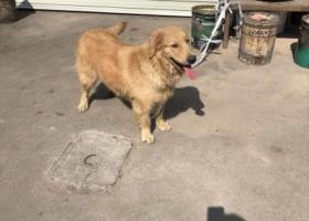 寻狗启示,2月6号中午东莞凤岗镇五联村捡到浅黄色金毛,它是一只非常可爱的宠物狗狗,希望它早日回家,不要变成流浪狗。