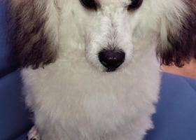 寻狗启示,寻狗,太湖山庄附近走丢,它是一只非常可爱的宠物狗狗,希望它早日回家,不要变成流浪狗。