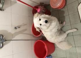 寻狗启示,惠州惠阳新圩八月大金毛萨摩耶串串走失,它是一只非常可爱的宠物狗狗,希望它早日回家,不要变成流浪狗。