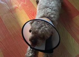 寻狗启示,泰迪狗2.7日在苏州郭巷保利观湖国际走丢,它是一只非常可爱的宠物狗狗,希望它早日回家,不要变成流浪狗。