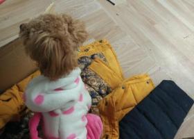 寻狗启示,于2月8号晚,春江新城附近发现一只泰迪,它是一只非常可爱的宠物狗狗,希望它早日回家,不要变成流浪狗。