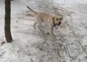 寻狗启示,寻浅黄色拉布拉多,公狗,青岛奥帆基地附近走失。,它是一只非常可爱的宠物狗狗,希望它早日回家,不要变成流浪狗。