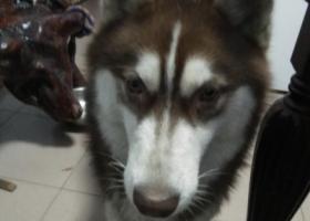 寻狗启示,在肥城王瓜店附近丢失一只棕色哈士奇寻狗,它是一只非常可爱的宠物狗狗,希望它早日回家,不要变成流浪狗。