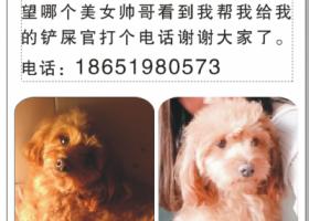 寻狗启示,寻狗泰迪豆豆,舌尖上有黑色胎记,它是一只非常可爱的宠物狗狗,希望它早日回家,不要变成流浪狗。