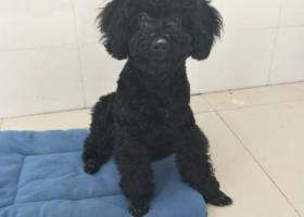 寻狗启示,寻狗启示重金酬谢黑色泰迪六个月在泗阳庄圩走丢,它是一只非常可爱的宠物狗狗,希望它早日回家,不要变成流浪狗。