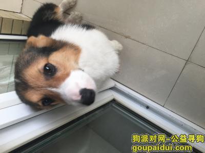 黄冈寻狗网,寻狗启示,柯基狗狗走散了,急!,它是一只非常可爱的宠物狗狗,希望它早日回家,不要变成流浪狗。