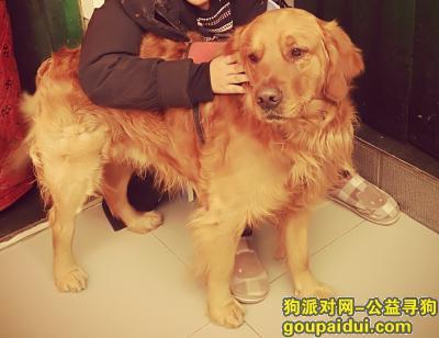 济源寻狗启示,我家金毛丢了,十分着急,它是一只非常可爱的宠物狗狗,希望它早日回家,不要变成流浪狗。