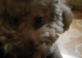 寻狗启示,我捡到一条泰迪浅棕色无尾大狗(公),它是一只非常可爱的宠物狗狗,希望它早日回家,不要变成流浪狗。