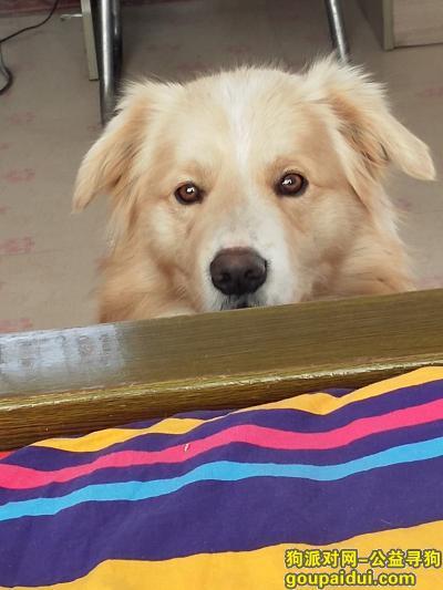 丹东寻狗网,寻找一个不是纯种金毛狗,它是一只非常可爱的宠物狗狗,希望它早日回家,不要变成流浪狗。