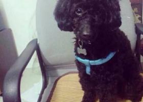 寻狗启示,找一只黑色公泰迪,叫逗逗,它是一只非常可爱的宠物狗狗,希望它早日回家,不要变成流浪狗。