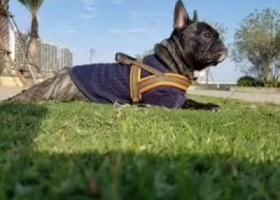 寻狗启示,双十,下忠走失一只虎斑法斗,它是一只非常可爱的宠物狗狗,希望它早日回家,不要变成流浪狗。