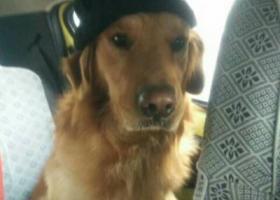 寻狗启示,南通三号桥附近走丢金毛一只,如果有看到的好心人请联系18020225937,它是一只非常可爱的宠物狗狗,希望它早日回家,不要变成流浪狗。