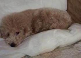 寻狗启示,天津市河东区大王庄八纬路酬谢两千元寻找泰迪,它是一只非常可爱的宠物狗狗,希望它早日回家,不要变成流浪狗。