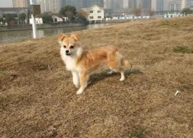 寻狗启示,苏州市吴江区松陵镇伟业迎春乐家小区寻找田园犬,它是一只非常可爱的宠物狗狗,希望它早日回家,不要变成流浪狗。
