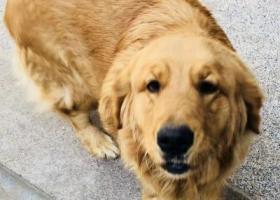 寻狗启示,山东郓城金毛丢失很着急,它是一只非常可爱的宠物狗狗,希望它早日回家,不要变成流浪狗。