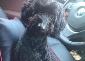 寻狗启示,找一只刚剪过造型的黑色的公泰迪,它是一只非常可爱的宠物狗狗,希望它早日回家,不要变成流浪狗。