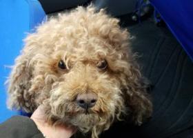寻狗启示,捡到母狗泰迪一只,过年了,让它赶快回家,它是一只非常可爱的宠物狗狗,希望它早日回家,不要变成流浪狗。