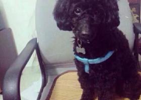 寻狗启示,2000寻一只黑色公泰迪,它是一只非常可爱的宠物狗狗,希望它早日回家,不要变成流浪狗。
