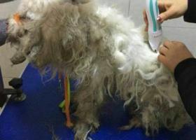 寻狗启示,2017,2,28,通州金南小区,毛打结给它剪了毛,它是一只非常可爱的宠物狗狗,希望它早日回家,不要变成流浪狗。