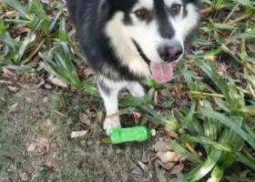 寻狗启示,1月28走失在农大附近,它是一只非常可爱的宠物狗狗,希望它早日回家,不要变成流浪狗。