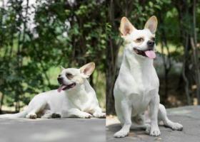寻狗启示,寻找爱狗,对于我们来说它就是家人,它是一只非常可爱的宠物狗狗,希望它早日回家,不要变成流浪狗。