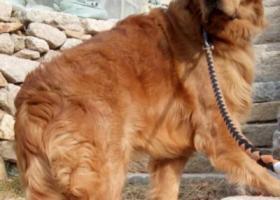 寻狗启示,金毛,11个月,2018年2月8日走失,它是一只非常可爱的宠物狗狗,希望它早日回家,不要变成流浪狗。