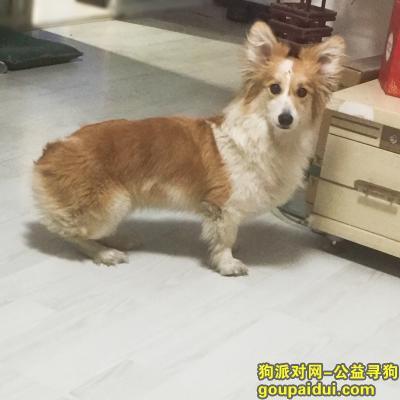 ,寻找柯基(元宝)回家,它是一只非常可爱的宠物狗狗,希望它早日回家,不要变成流浪狗。