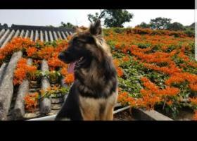 寻狗启示,在广东珠海丢失大型犬一只,希望尽快找到,它是一只非常可爱的宠物狗狗,希望它早日回家,不要变成流浪狗。