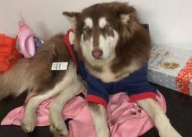 寻狗阿拉斯加棕毛大约80斤