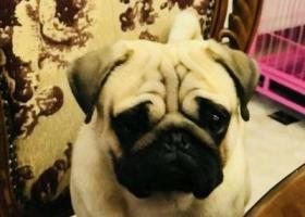 寻狗启示,请网友帮我找一下身上有红色肩带的八哥犬,它是一只非常可爱的宠物狗狗,希望它早日回家,不要变成流浪狗。