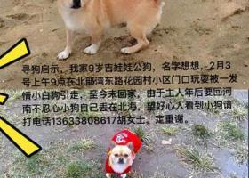 寻狗启示     黄色吉娃娃