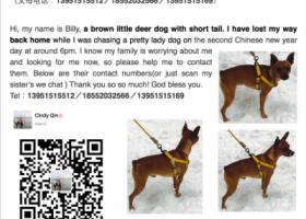 寻狗启示,[寻狗重酬] 棕色短毛无尾小鹿犬,它是一只非常可爱的宠物狗狗,希望它早日回家,不要变成流浪狗。