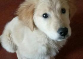 寻狗启示,急寻四月大金毛犬(山东泰安),它是一只非常可爱的宠物狗狗,希望它早日回家,不要变成流浪狗。
