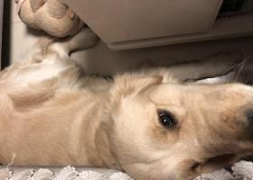 寻狗启示,寻找一岁半金毛 公狗 潍坊高新区胜利街致远路口走失,它是一只非常可爱的宠物狗狗,希望它早日回家,不要变成流浪狗。