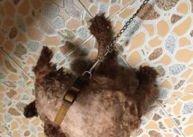 寻狗启示,寻卷毛狗的主人,狗狗在汕头人民广场草地,它是一只非常可爱的宠物狗狗,希望它早日回家,不要变成流浪狗。