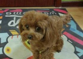 寻狗启示,浅棕色小体泰迪在河西区柳林街柳苑公寓走失,重金寻狗!,它是一只非常可爱的宠物狗狗,希望它早日回家,不要变成流浪狗。