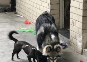 寻狗启示,温州瓯海郭溪浦东丢失7个月大的阿拉斯加,它是一只非常可爱的宠物狗狗,希望它早日回家,不要变成流浪狗。
