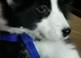 寻狗启示,家里的边牧宝宝丢了很急麻烦大家帮帮忙,它是一只非常可爱的宠物狗狗,希望它早日回家,不要变成流浪狗。