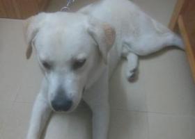 寻狗启示,三元里大道捡到一条8-14个月的拉布拉多,体型稍微肥胖,头大,头部稍微白色。,它是一只非常可爱的宠物狗狗,希望它早日回家,不要变成流浪狗。