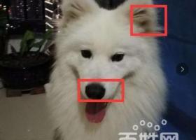 寻狗启示,寻狗-萨摩犬定给重谢13645063933,它是一只非常可爱的宠物狗狗,希望它早日回家,不要变成流浪狗。
