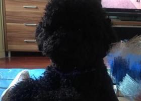 寻狗启示,江苏昆山寻狗黑色泰迪,它是一只非常可爱的宠物狗狗,希望它早日回家,不要变成流浪狗。