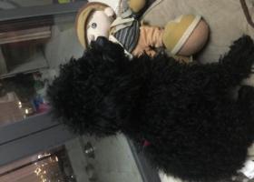 寻狗启示,渝北两路拾到黑色泰迪一只,它是一只非常可爱的宠物狗狗,希望它早日回家,不要变成流浪狗。