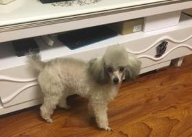 寻狗启示,2月13日青建橄榄城附近走丢小狗,它是一只非常可爱的宠物狗狗,希望它早日回家,不要变成流浪狗。