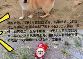 寻狗狗:黄色无尾吉娃娃窜