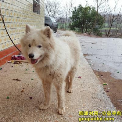 衡阳找狗主人,捡到一只成年萨摩,脖子系有一根绳子,它是一只非常可爱的宠物狗狗,希望它早日回家,不要变成流浪狗。